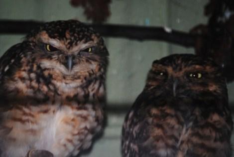 angry owl